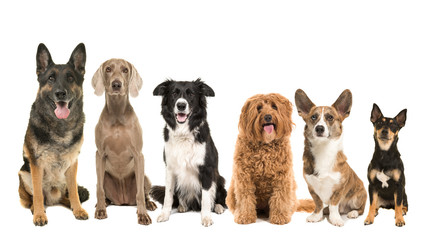 Group of different kind of breeds of adult dogs sitting looking at the camera isolated on a white background arranged from big to small Wall mural