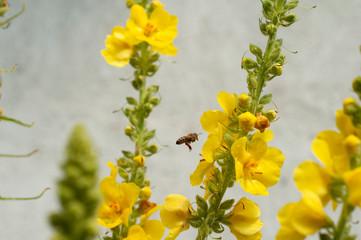 Obraz pszczoła zbierająca pyłek z kwiatów dziewanny  - fototapety do salonu