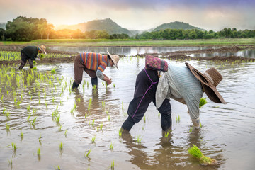 Farmers are planting rice in the fields