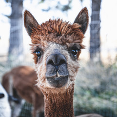 Keuken foto achterwand Lama alpaca portraits: sweet, funny face collection for animal lovers