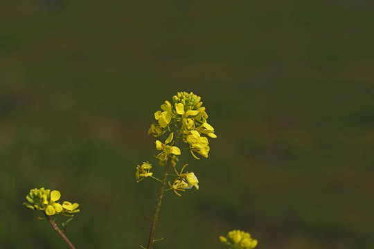 Wild Mustard Grass ; Sinapis arvensis L