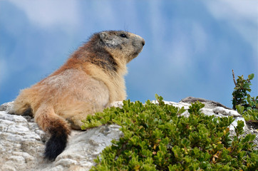 Alpine marmot (Marmota marmota) on the rock in the French Alps, Savoie department at La Plagne