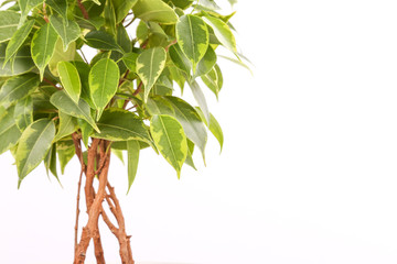 Ficus benjamina in a pot on a white background Wall mural