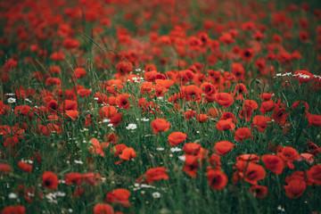Obraz field of red poppies 2 - fototapety do salonu