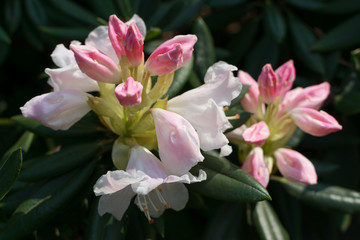 White and pink rhododendron pseudochrysanthum flowers in spring garden