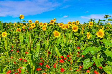 sunflowers in Summer in the uk