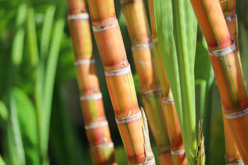 Poster de jardin Bamboo sugar cane