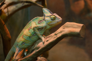 Veiled chameleon, Chamaeleo Calyptratus, sitting on a branch of a tree in a terrarium of zoo