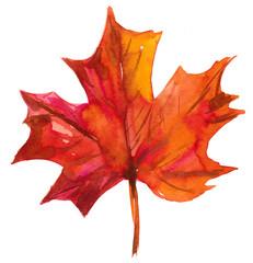 Fototapeta Autumn maple leaf. Watercolor illustration obraz