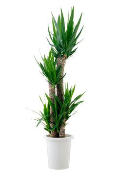 houseplant yucca isolated on white background