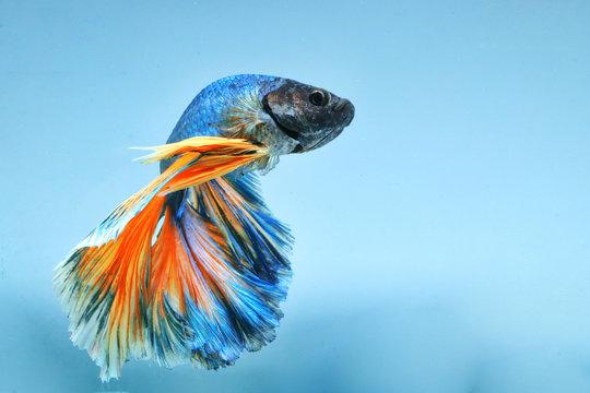 "Betta fish ""Half Moon"" has blue-yellow, blue background."