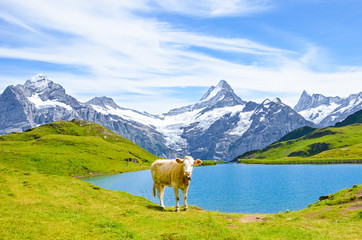 Cow in front of beautiful Bachalpsee in the Swiss Alps posing for pictures. Famous mountains Eiger, Jungfrau, and Monch in background. Cow Alps. Switzerland in late summer. Snow-capped mountains