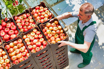 Senior male farmer arranging newly harvest tomatoes in crate  Wall mural