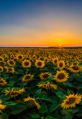 Sunflower field on fertile black earths of Ukraine, on the horizon a beautiful sunset, panorama.
