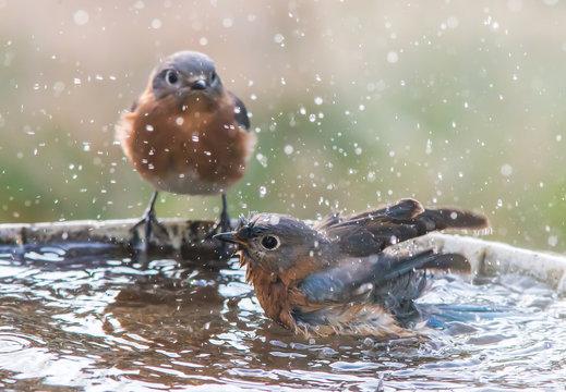 Two Femaie Blue Birds at a Bird Bath