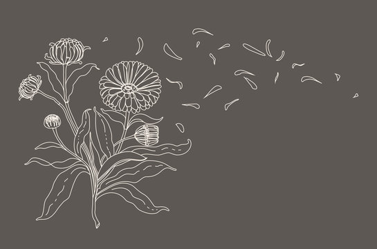 Hand drawn contour botanical illustration of Calendula flower, leaves and petals in vector
