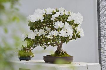 Foto auf Acrylglas Bonsai bonsai