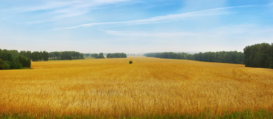 In de dag Honing Beautiful landscape with panoramic scenery of golden agricultural field with ripe wheat and blue sky in a sunny day