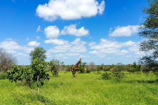 Kruger Nationalpark Giraffe Afrika #4
