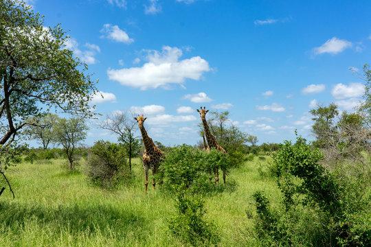 Kruger Nationalpark Giraffe Afrika #3