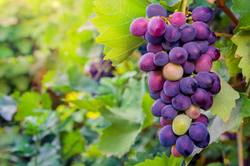 bunch of purple grapes on the background of green leaves