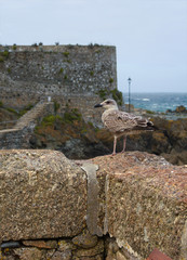 seagull in front of a wall - St Ives - Cornwall