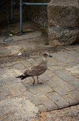 young seagull walking - St. Ives - Cornwall