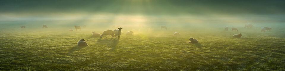 Zelfklevend Fotobehang Schapen Schafe im Frühnebel auf den Ruhrwiesen in Duisburg