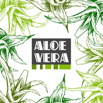 Aloe vera sketch vector illustration. Hand drawn style.