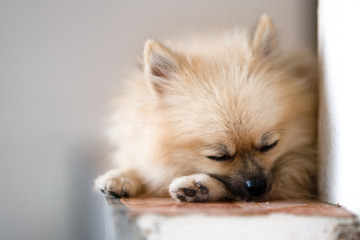 funny pomeranian dog, ped toy lovely and funy picture