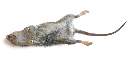 dead rat closeup isolated on white background