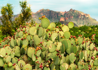 Foto op Plexiglas Cactus A prickly pear cactus after its flowers have fallen off sitting in front of a tall mountain