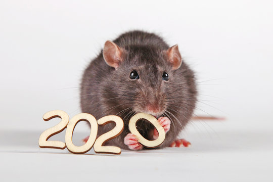 Happy New Year! The symbol of the new 2020 is the rat. A furry rat holding in its paws and nibbling a wooden digit (number) is zero.