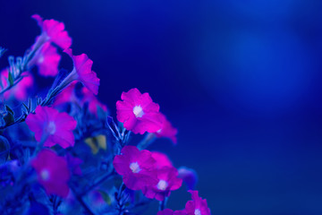 Floral night blue background of pink petunia flowers with free space for text