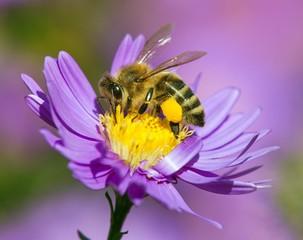 bee or honeybee sitting on flower, Apis Mellifera
