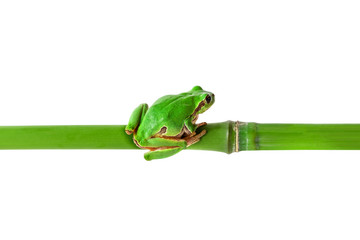 Green frog sitting on bamboo stick. Tree frog on bamboo isolated on white with clipping path. Horizontal position image.