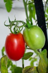 frische rote und grüne Roma Tomaten am Strauch.