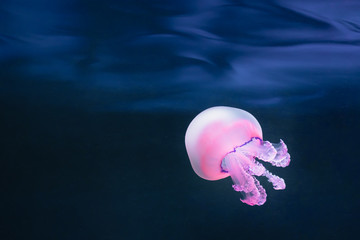 Wall Mural - purple jellyfish rhizostoma pulmo underwater