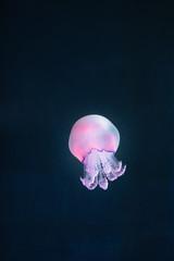 Fototapete - purple jellyfish rhizostoma pulmo underwater