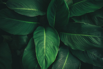 Large foliage of tropical leaf with dark green texture, abstract nature background. vintage color...