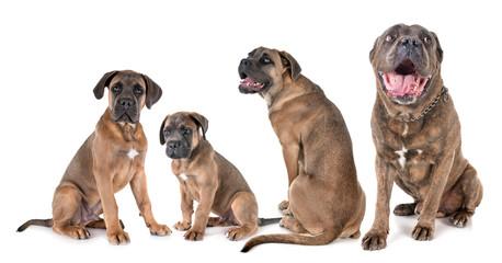 Fototapete - four cane corso