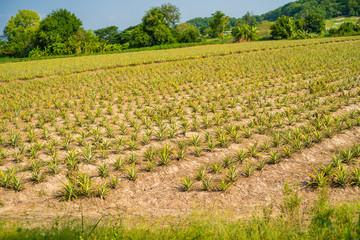 Pineapple field. Pineapple fruit in farm, Chonburi, Thailand.