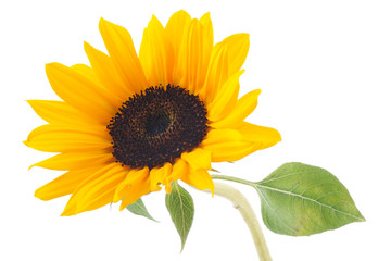 Sunflower isolated on white background Fototapete