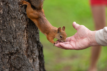 Squirrel on a tree eats nuts from a hand, close-up