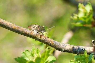graue Gartenwanze (Rhaphigaster nebulosa) auf dem Zweig eines Weißdorn im Frühling