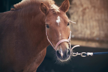 A cute red-haired little pony with a trimmed mane and dressed in a halter is pulled forward by the...