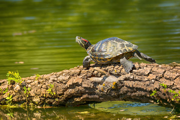 Photo sur Aluminium Tortue .Wild Red-eared turtle in the pond