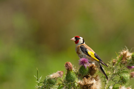 Bright goldfinch sitting on flowers