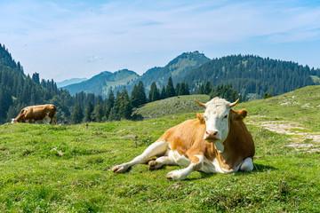 Urlaub in Bayern: Berg Laubenstein: Kuh vor dem Hocheck