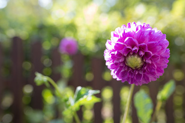 Dahlienblüte im Spätsommer